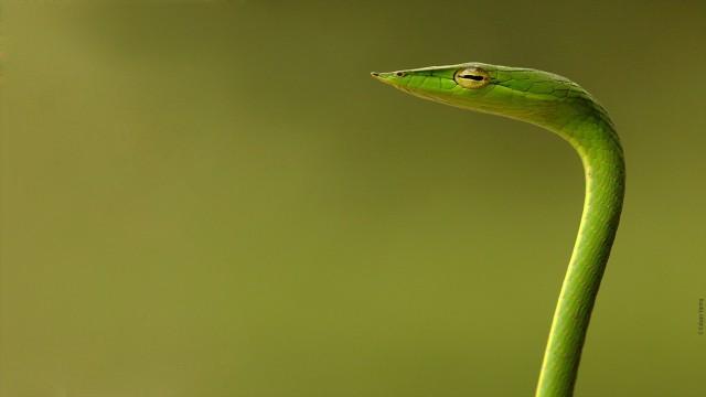 Animal snake green