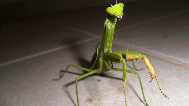 Insect praying mantis green
