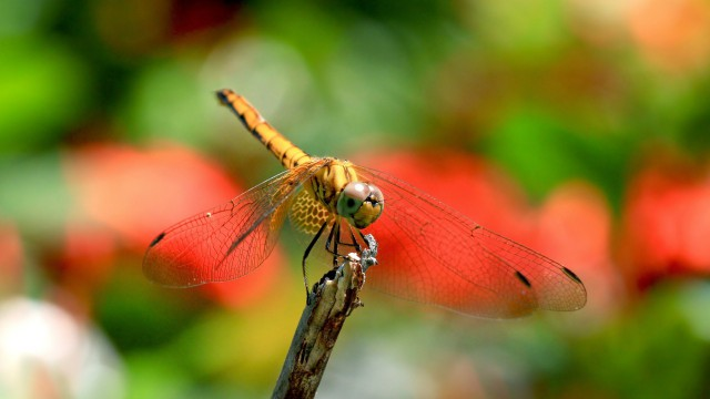 Insect dragonfly nature
