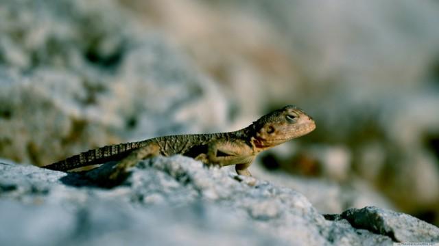 Blur lizard reptile