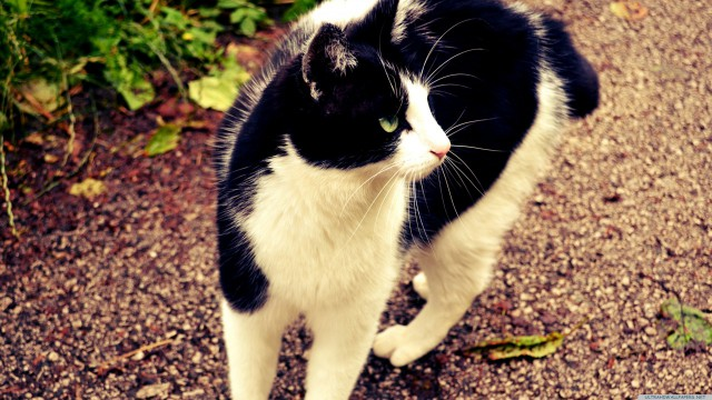 Cat black and white animal