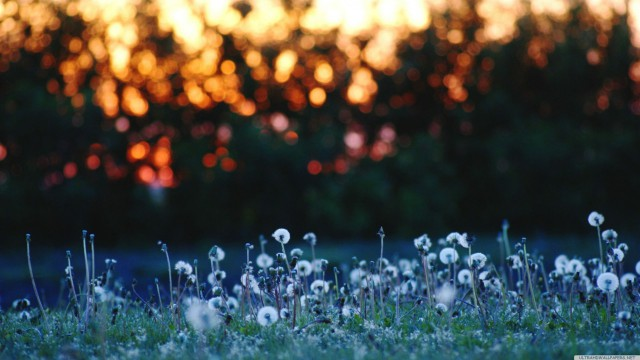 Dandelion sunset landscape nature