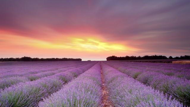 風景ラベンダー紫夕陽