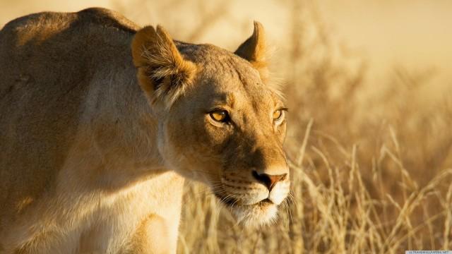 動物ライオン