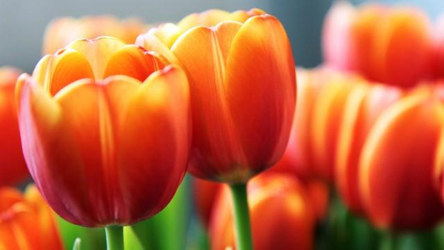 花チューリップ赤