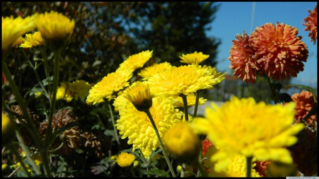 花黄たんぽぽ
