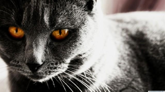 黒猫動物接写