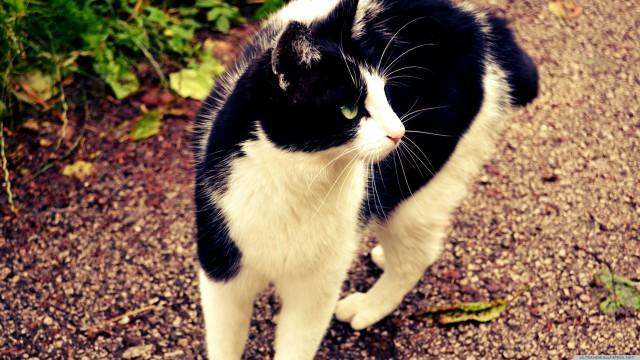 猫白黒動物