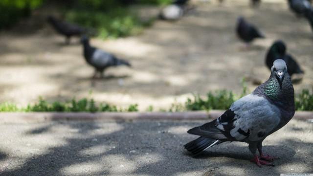 鳩鳥ぼかし