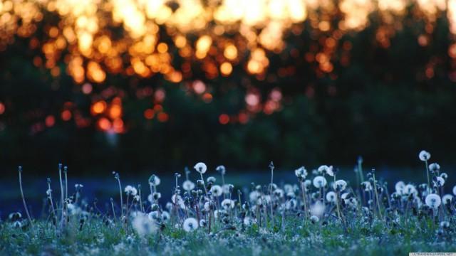 たんぽぽ夕日風景自然